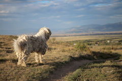 CHIEN DE BERGER HONGROIS ANTIQUE - KOMONDOR Photos stock