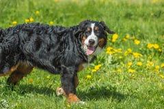 Chien de Berner Sennenhund de chien de montagne de Bernese jeune grand sur le GR Image libre de droits