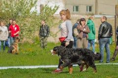 Chien de Berner Sennenhund de chien de montagne de Bernese le grand jeune est prochain Image stock