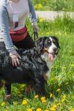 Chien de Berner Sennenhund de chien de montagne de Bernese sur l'herbe prochain t Image libre de droits