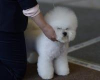 Chien de Bichon Frise sur l'exposition canine Image stock