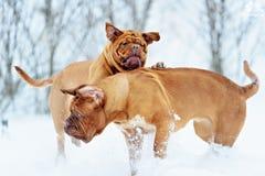 Chien de Bordeaux de chien Photographie stock libre de droits