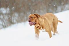 Chien de Bordeaux de chien Image stock