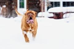 Chien de Bordeaux de chien Image libre de droits