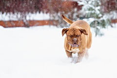 Chien de Bordeaux de chien Images stock