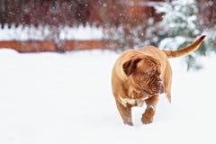 Chien de Bordeaux de chien Photos stock