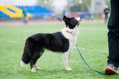 Chien de border collie Images stock