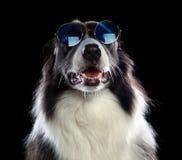 Chien de border collie avec les lunettes de soleil bleues Photographie stock