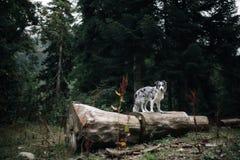 Chien de border collie derrière un arbre dans une forêt foncée de conte de fées images stock