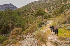 Chien de border collie en Corse photos libres de droits