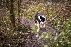 Chien de border collie fonctionnant par la forêt Photo stock