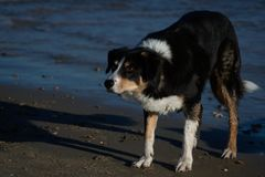 Chien de border collie sur la boule de attente de plage photo libre de droits