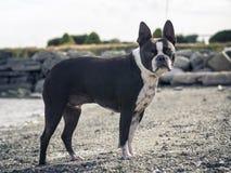 Chien de Boston Terrier posant sur la plage côtière en été Photos stock