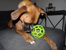 chien de boxeur avec une boule Photo libre de droits