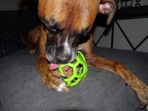 chien de boxeur avec une boule Images libres de droits
