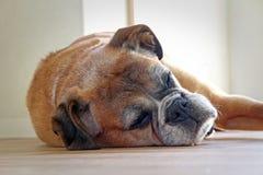Chien de boxeur de sommeil Photos stock