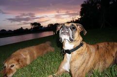 chien de boxeur et jeu de golden retriever dans la cour Images stock