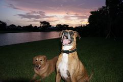 chien de boxeur et jeu de golden retriever dans la cour Photo libre de droits