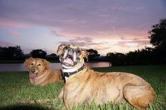 chien de boxeur et jeu de golden retriever dans la cour Image libre de droits