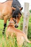 Chien de boxeur faisant des amis avec un cheval Images stock