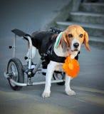 Chien de briquet avec le fauteuil roulant à l'arrière-plan de rue Images libres de droits