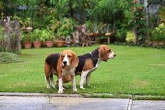Chien de briquet de deux animaux de race faisant l'amour Photos libres de droits