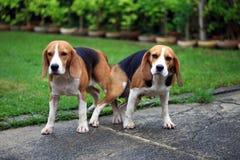 Chien de briquet de deux animaux de race faisant l'amour Images libres de droits