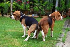 Chien de briquet de deux animaux de race faisant l'amour Photo stock