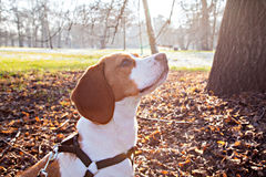 Chien de briquet en parc d'automne Image stock