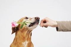 Chien de Brown avec la rose de rose dans sa bouche Photos libres de droits