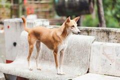 Chien de Brown, chien de l'Asie Photos libres de droits
