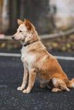 Chien de Brown, chien de l'Asie Photos stock
