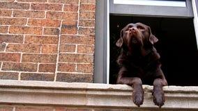 Chien de Brown labrador retriever à la fenêtre Photos stock