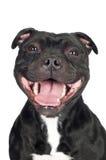 Chien souriant de bull-terrier du Staffordshire Photos libres de droits