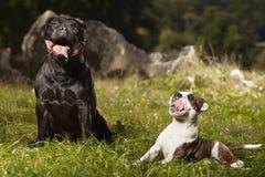 Chien de bull-terrier du Staffordshire avec son ami Images libres de droits