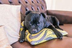Chien de bull-terrier du Staffordshire endormi étreignant un coussin sur une prairie image stock