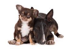 Chien de bull-terrier et chiot anglais de chiwawa Photographie stock