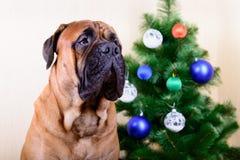 Chien de Bullmastiff avec l'arbre de Noël Photo stock