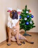 Chien de Bullmastiff et arbre de Noël Photo libre de droits