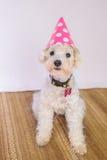 Chien de caniche avec un chapeau d'anniversaire Photographie stock libre de droits