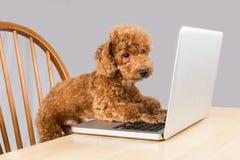 Chien de caniche brun futé dactylographiant et lisant l'ordinateur portable sur la table Image stock