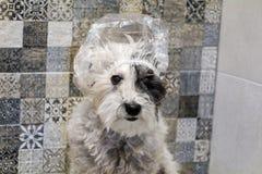 Chien de caniche humide avec le bain de chapeau photos stock