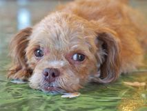 Chien de caniche miniature de Brown se trouvant sur le plancher vert Photo stock