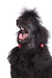 Chien de caniche noir Photo stock