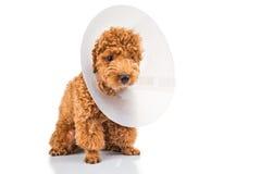 Chien de caniche triste utilisant le collier protecteur de cône sur son cou Photos libres de droits