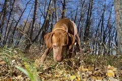 Chien de chasse avec le nez au sol dans la forêt d'automne Photographie stock libre de droits