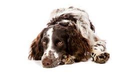 chien de chasse blanc Brown sur le blanc Photo stock