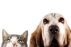 Chien de chasse de chaton et de basset sur le fond blanc Photographie stock