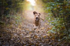 Chien de chasse hongrois dans le temps d'automne photographie stock libre de droits