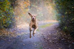 Chien de chasse hongrois dans le temps d'automne photo stock